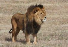 Lion Panthera leo Fotografia de Stock