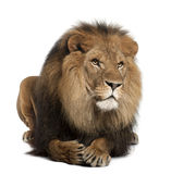 Lion, Panthera leo, 8 years old, lying stock photos