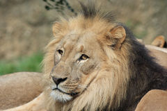 Lion - Panthera leo Stock Photography