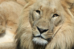 Lion - Panthera leo Royalty Free Stock Photography