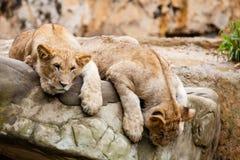 Lion Panthera leo foto de archivo