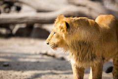 Lion, Panthera leo Royalty Free Stock Images