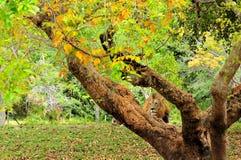 Lion (Panthera leo) behind tree Stock Images