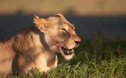 Lion (panthera leo) close-up Stock Photography