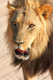 Lion (panthera leo) close-up Royalty Free Stock Photos