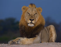 Lion (panthera leo) close-up Royalty Free Stock Images