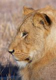 Lion (panthera leo) close-up Stock Photo