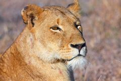 Lion (panthera leo) close-up Royalty Free Stock Image