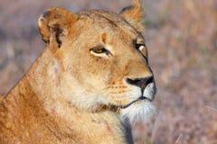 Lion (panthera leo) close-up Royalty Free Stock Image