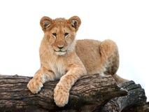 Lion (Panthera leo) Royalty Free Stock Photo