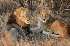 Lion (Panthera leo) couple stock photo