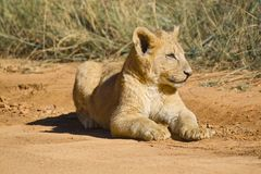 Lion (Panthera leo) cub Stock Photography
