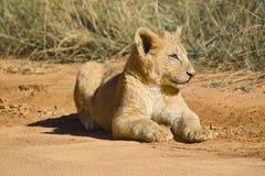 Lion (Panthera leo) cub Stock Photography