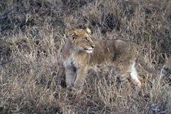 Lion (Panthera leo) cub Royalty Free Stock Photo