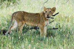 Lion (Panthera leo) cub. Stock Images