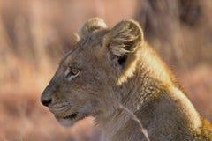 Lion (Panthera leo) cub. Stock Image