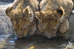 Lion (Panthera leo) cubs Royalty Free Stock Photos