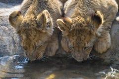 Lion (Panthera leo) cubs Royalty Free Stock Photos