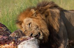 Lion (panthera leo) eating in savannah Stock Photo