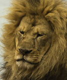 Lion (panthera leo) Stock Photos