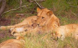 Lion (panthera leo) family in the wild. In South Africa stock photography