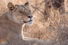 Lion (Panthera leo). Female lion (Panthera leo) in the african bush Stock Images