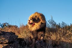 Lion, Panthera leo at a game drive in Namibia Africa stock photography