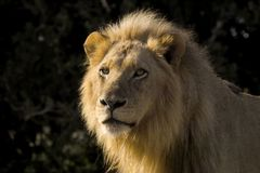 Lion (Panthera leo). Glaring in Kruger National Park, South Africa Stock Photos
