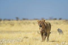 Lion - Panthera leo stock photos