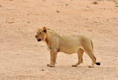 Lion (Panthera leo). Lion in the Kgalagadi Transfrontier Park, Kalahari Desert, South Africa Royalty Free Stock Images