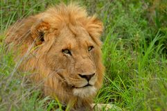 Lion (Panthera leo) , Kruger National Park. Royalty Free Stock Photography