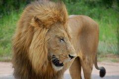 Lion (Panthera leo) Stock Photography