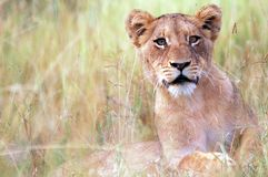 Lion (Panthera leo) stock photography