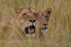 Lion (Panthera leo) Stock Photos