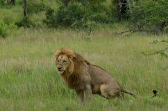 Lion (Panthera leo krugeri) Royalty Free Stock Image