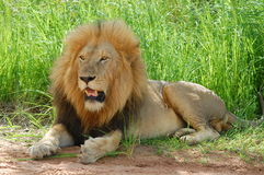 Lion (Panthera leo). Laying down in Kruger National Park, South Africa Stock Images