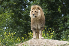 Lion / Panthera leo leo. A male of lion sitting on a knoll stock photography