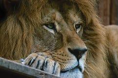 Lion. Panthera Leo Leo - Lion alfa royalty free stock images