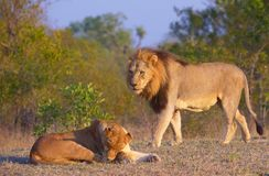 Lion (panthera leo) and lioness Stock Photography