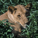 Lion (Panthera leo) Royalty Free Stock Photography