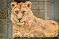 Lion - Panthera leo Royalty Free Stock Image