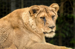 Lion - Panthera leo Royalty Free Stock Photos