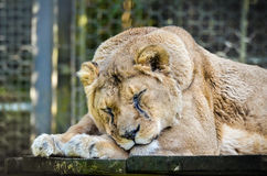 Lion - Panthera leo Stock Image