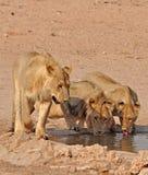 Lion (Panthera leo) Royalty Free Stock Images