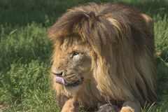 Lion (Panthera leo). Lying in the grass Royalty Free Stock Images
