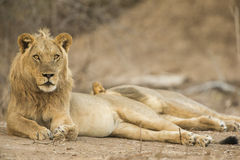 Lion (Panthera leo) lying on his side. Male Lion (Panthera leo) lying on his side, looking at camera Royalty Free Stock Image