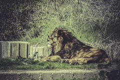 Lion, Panthera leo, majestic mammal, wildlife scene Royalty Free Stock Images