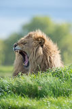 Lion (Panthera Leo) Royalty Free Stock Photos