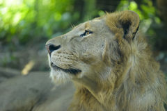 The lion Panthera leo Stock Images