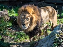 The lion, Panthera leo is one of the four big cats in the genus Panthera stock photo